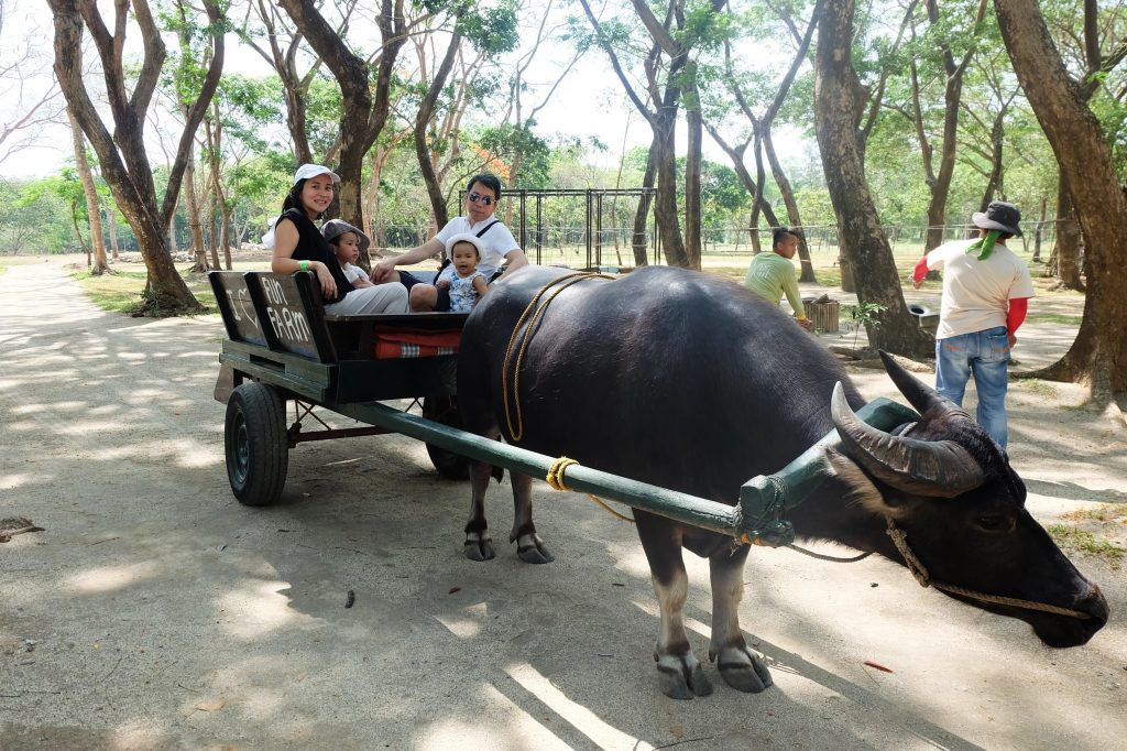 family riding carabao fun farm